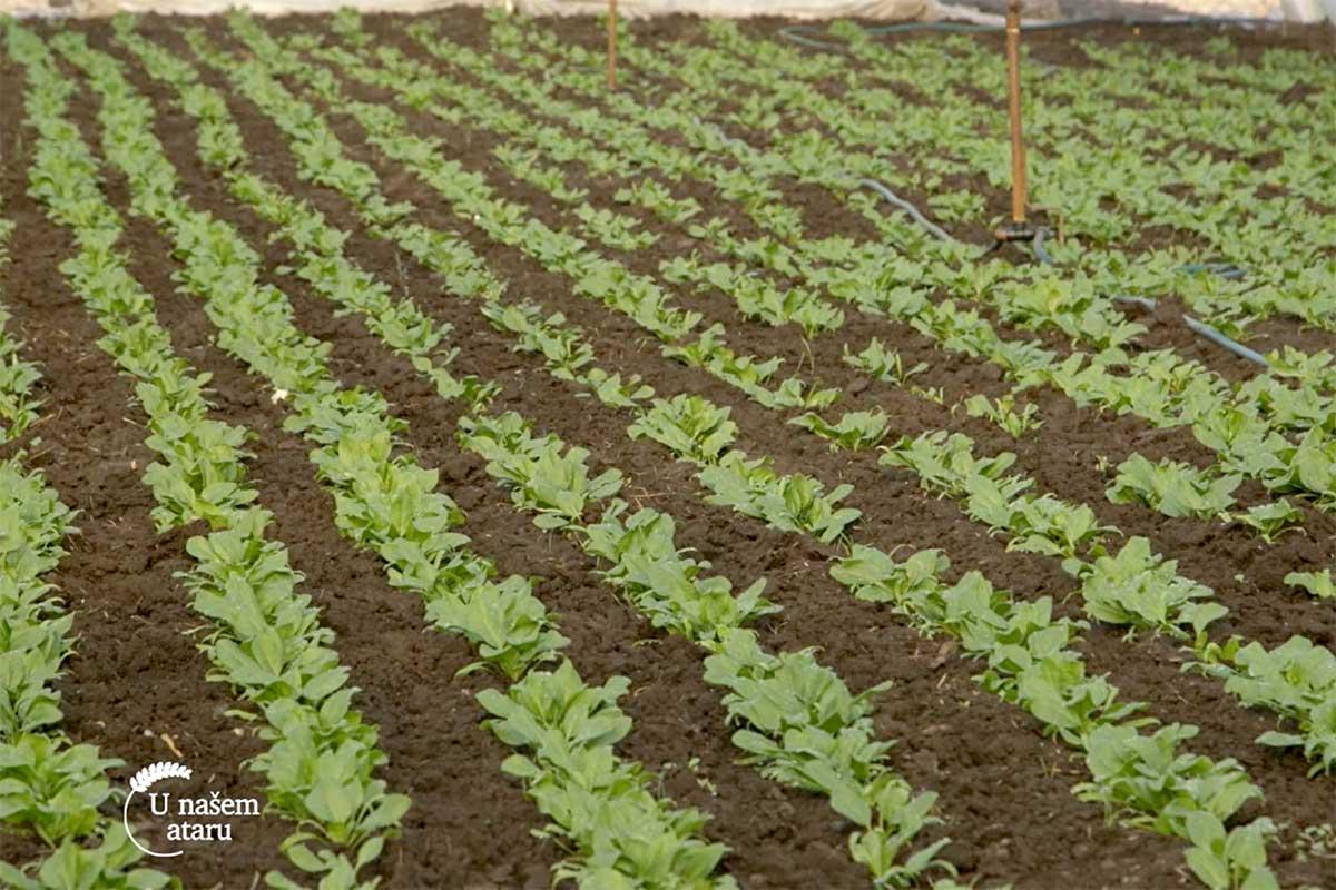 Agrosaveti---proizvodnja-spanaca---Muzlja---01