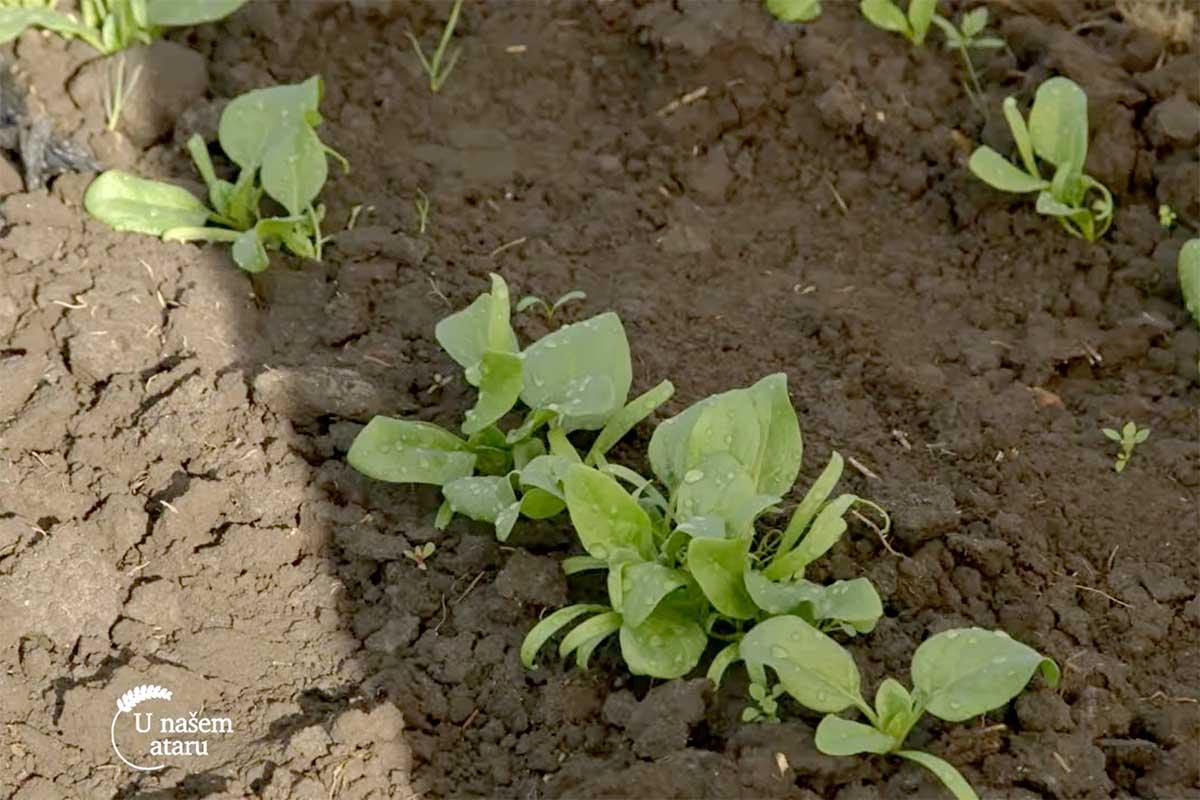 Agrosaveti---proizvodnja-spanaca---Muzlja---02