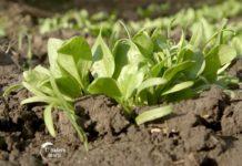 Agrosaveti---proizvodnja-spanaca---Muzlja---03