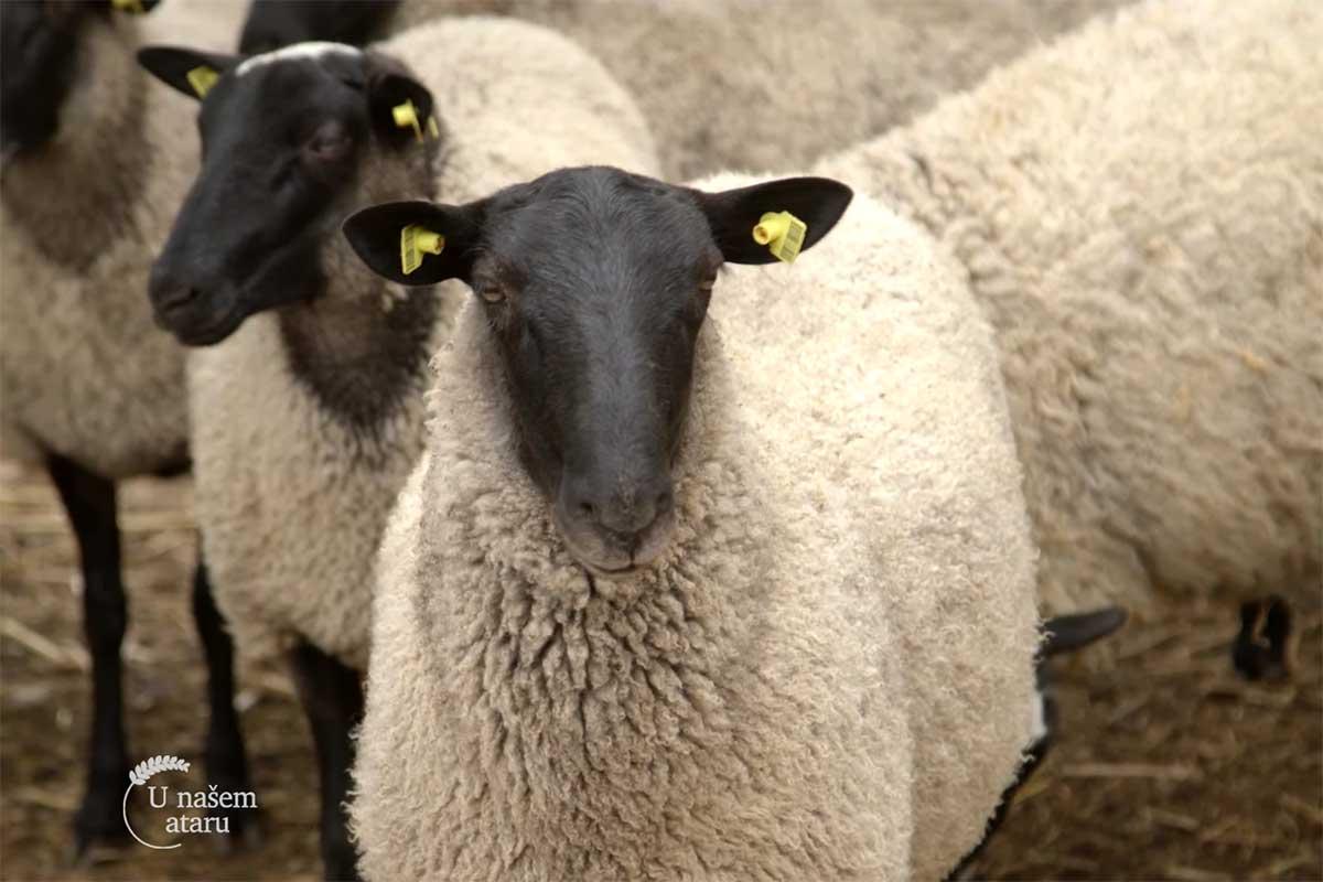 Agrosaveti---romanovska-ovca---01