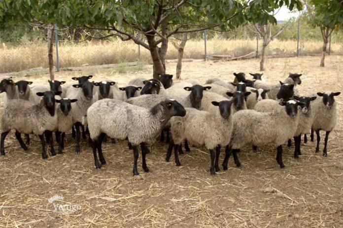 Agrosaveti---romanovska-ovca---03