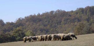 Agrosaveti---svrljiska-ovca---01