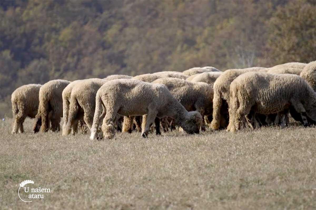Agrosaveti---svrljiska-ovca---02