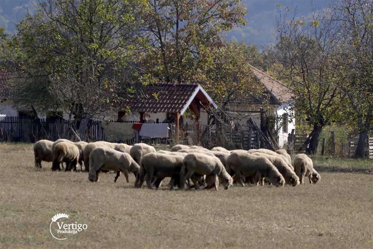 Agrosaveti---svrljiska-ovca---03