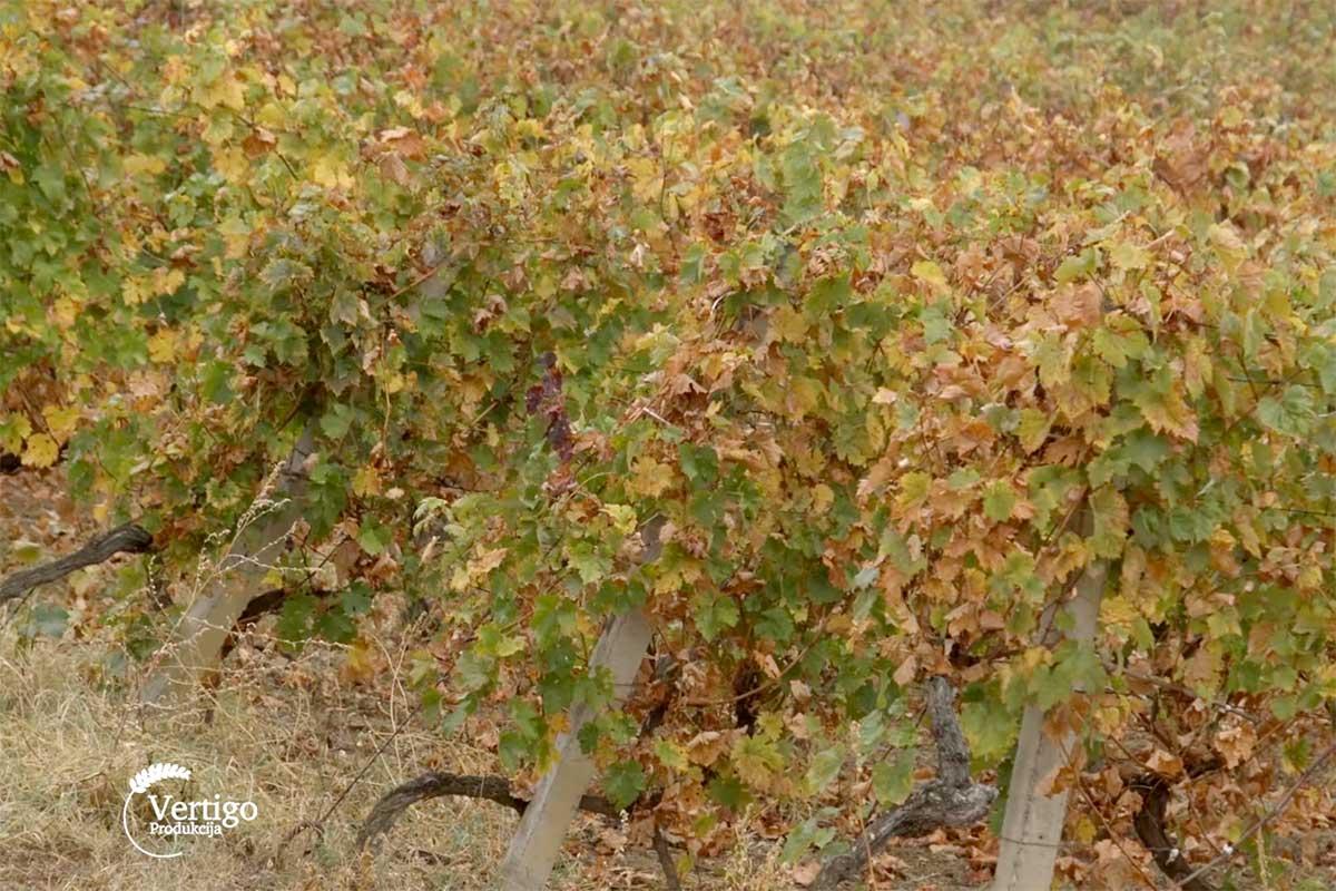 Agrosaveti---uzgoj-vinograda---Derenca---03