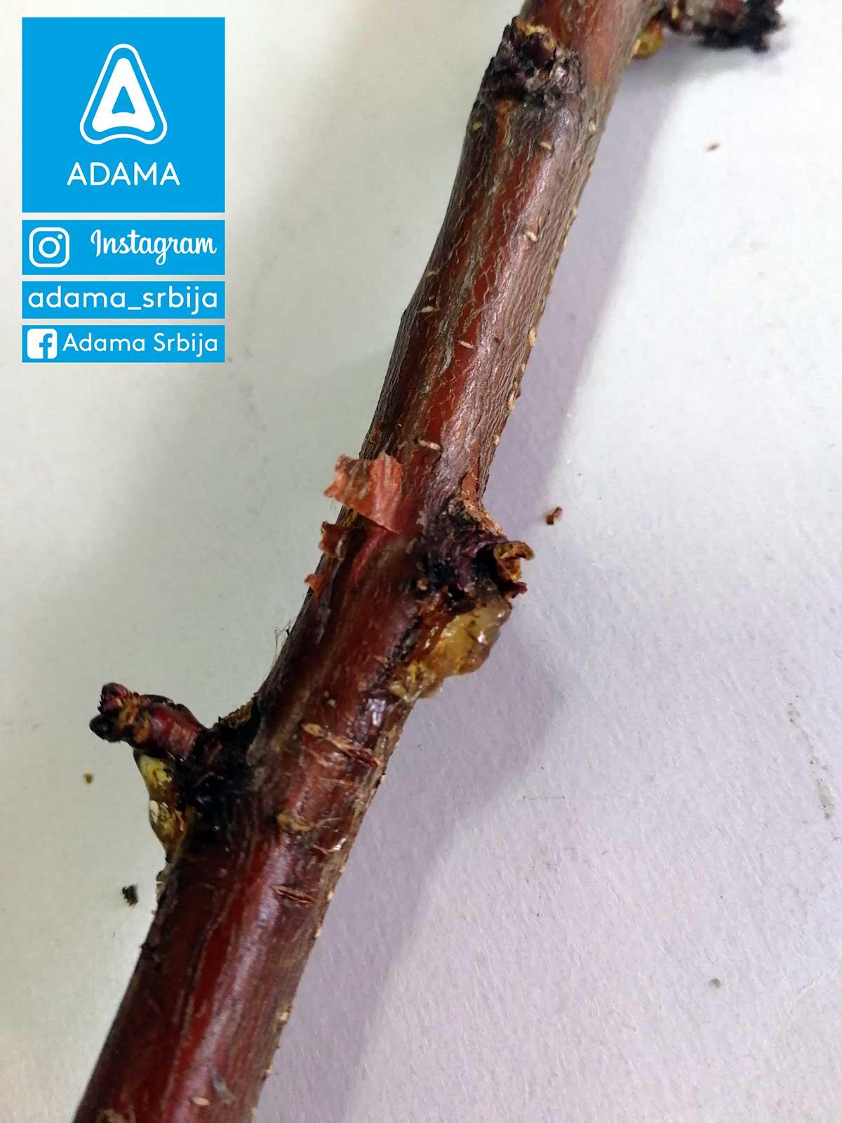 Agrosaveti---Adama---Jesenje-plavo-prskanje---bakterije---kosticavo-voce---bakterijski-eksudat-na-kajsiji-02