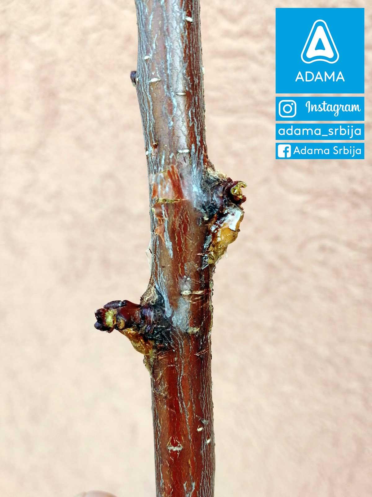 Agrosaveti---Adama---Jesenje-plavo-prskanje---bakterije---kosticavo-voce---bakterijski-eksudat-na-kajsiji-03