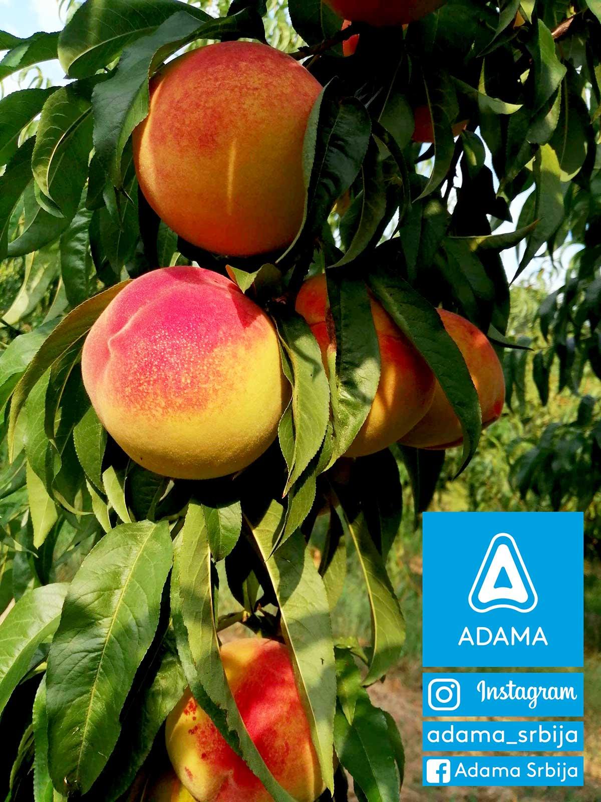 Agrosaveti---Adama---Sljiva---Breskva---Mali-Pozarevac---Ilija-Stankovic---Fotkaj-plod-i-uvecaj-rod---Konkurs-04