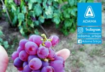 Agrosaveti---Adama---Vinograd---Grozdje---Vino---Drenca---Marko-Vukosavljevic---Fotkaj-plod-i-uvecaj-rod---Konkurs-04