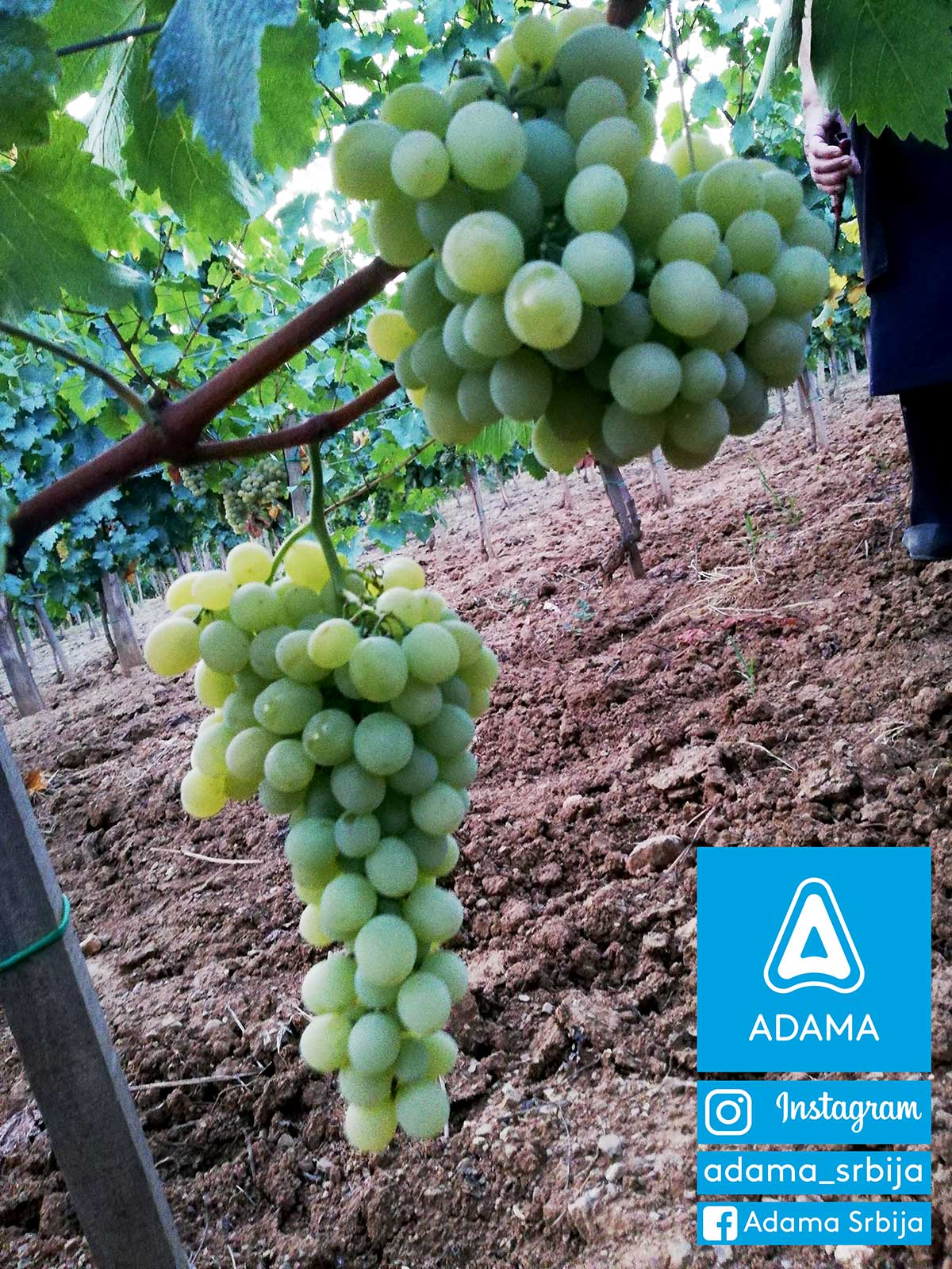 Agrosaveti---Adama---Vinograd---Grozdje---Vino---Drenca---Marko-Vukosavljevic---Fotkaj-plod-i-uvecaj-rod---Konkurs-05
