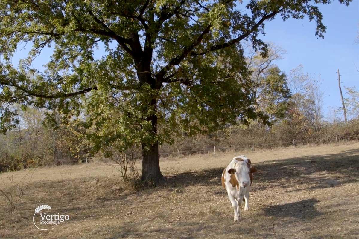 Agrosaveti---kravlje-mleko---Homolje---01