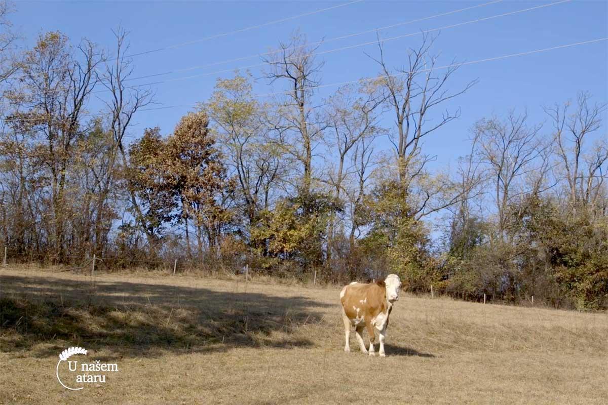 Agrosaveti---kravlje-mleko---Homolje---03