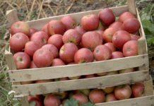 Agrosaveti---proizvodnja-jabuke---Vinca---03