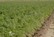 Agrosaveti---proizvodnja-sargarepe---Muzlja---02