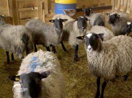 Agrosaveti---romanovska-ovca---Sid---01