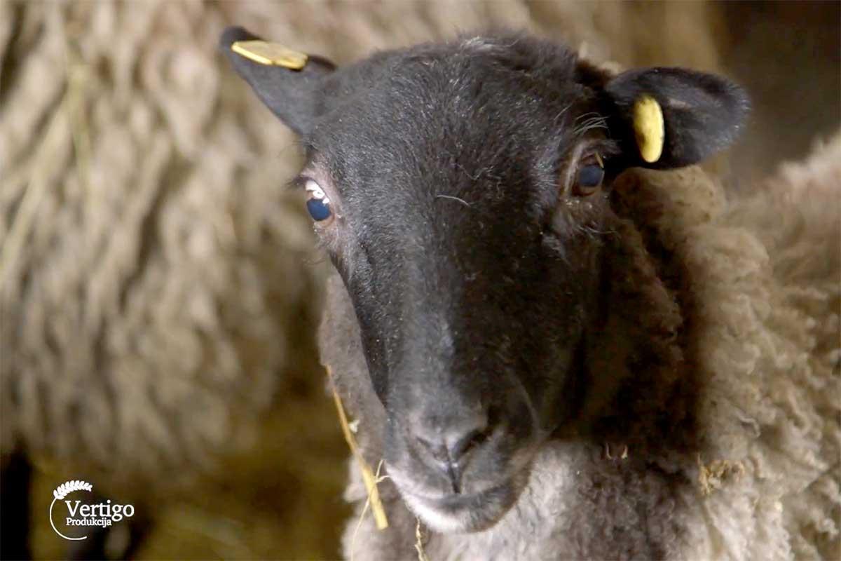 Agrosaveti---romanovska-ovca---Sid---03
