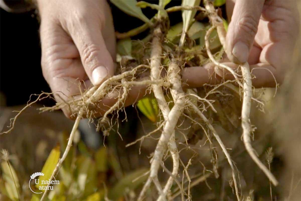 Agrosaveti---uzgoj-lekovitog-bilja---Valjevo---02