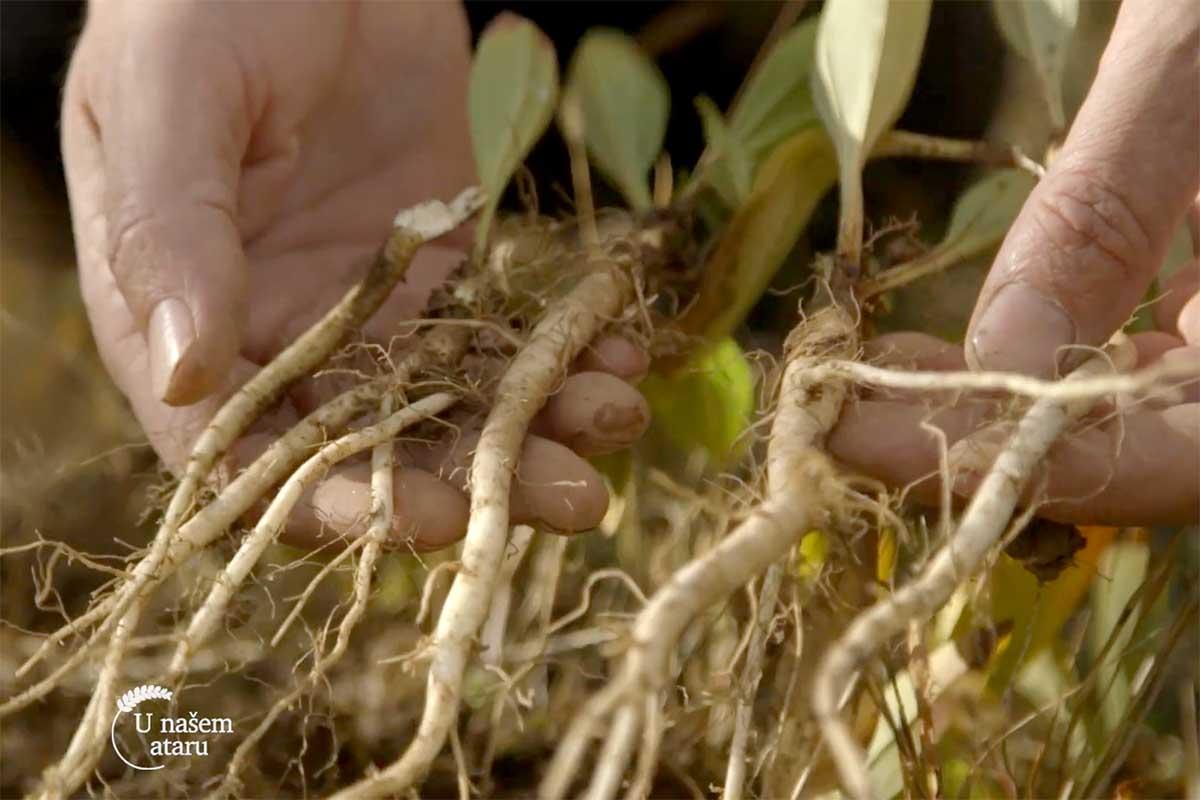 Agrosaveti---uzgoj-lekovitog-bilja---Valjevo---03