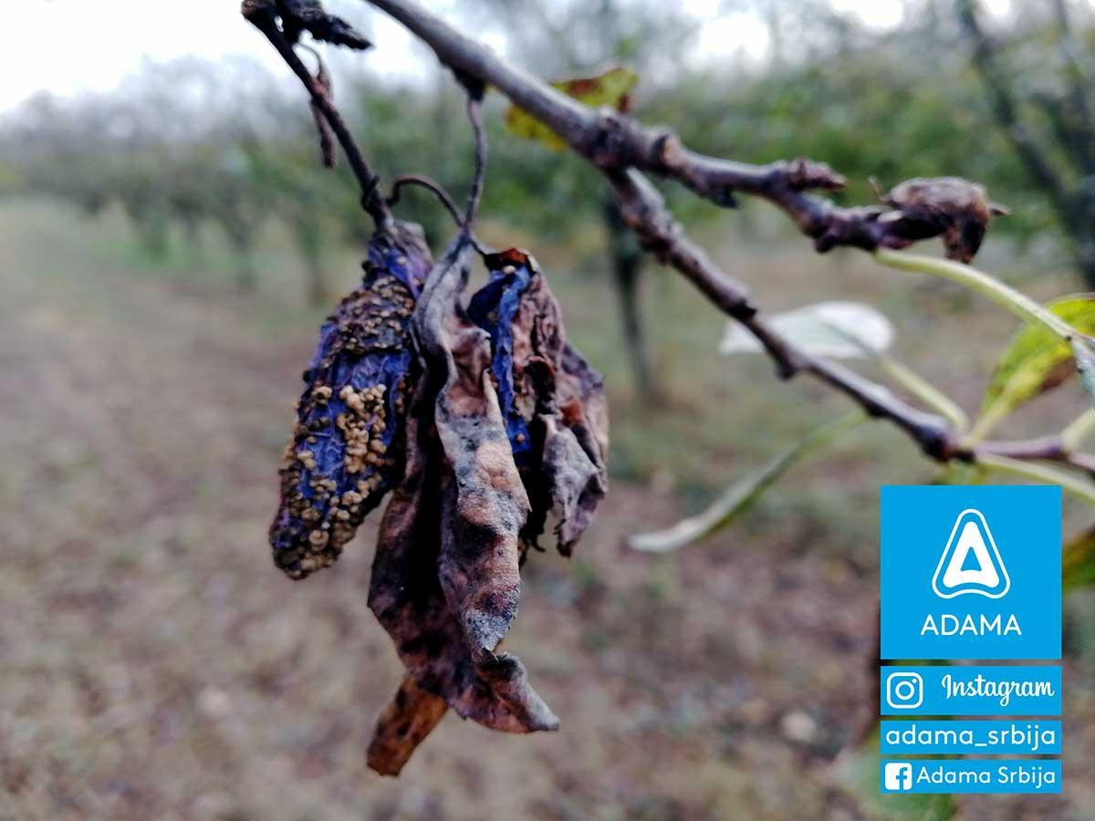 Agrsaveti---Adama---Jesenje-plavo-prskanje---bakterije---kosticavo-voce---mumificirani-plod---monilia