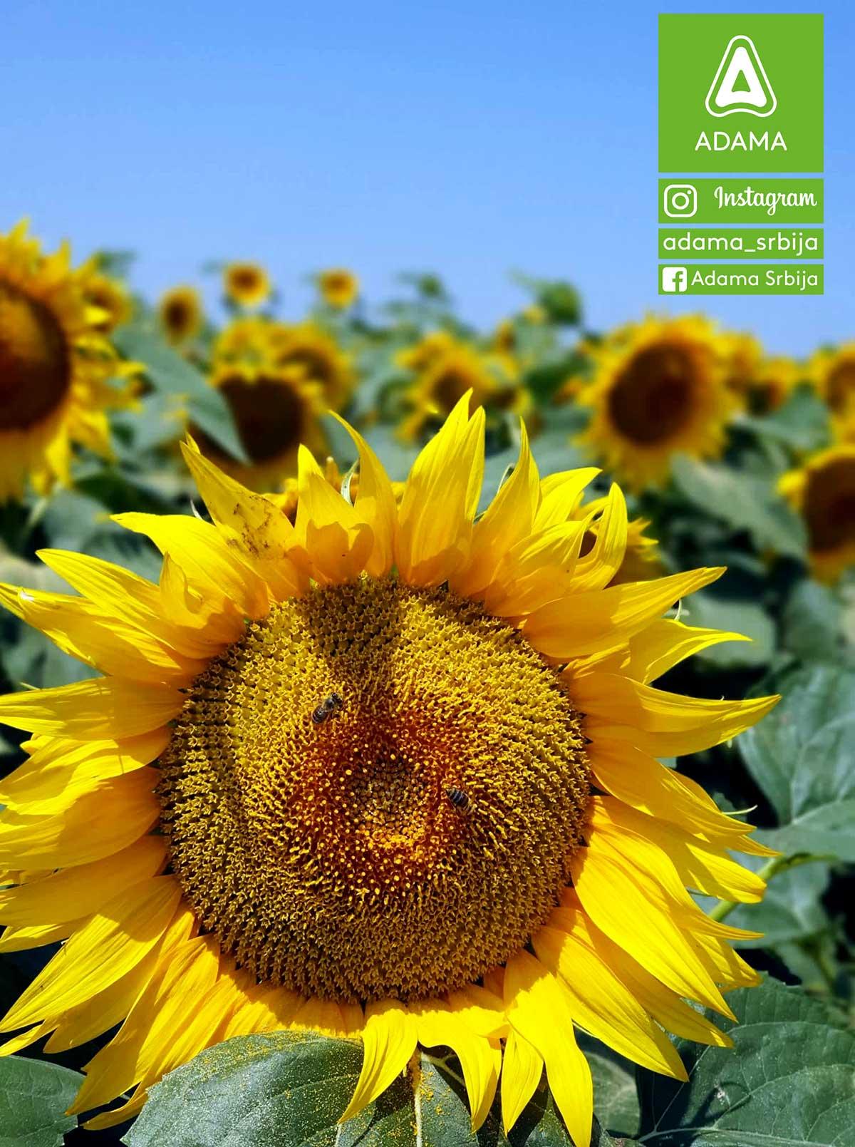 Agrosaveti---Adama---kukukuruz---suncokret---psenica---Milan-Markov---Fotkaj-plod-i-uvecaj-rod---Konkurs-03