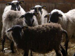 Agrosaveti---Romanovska-ovca---Zablace---03