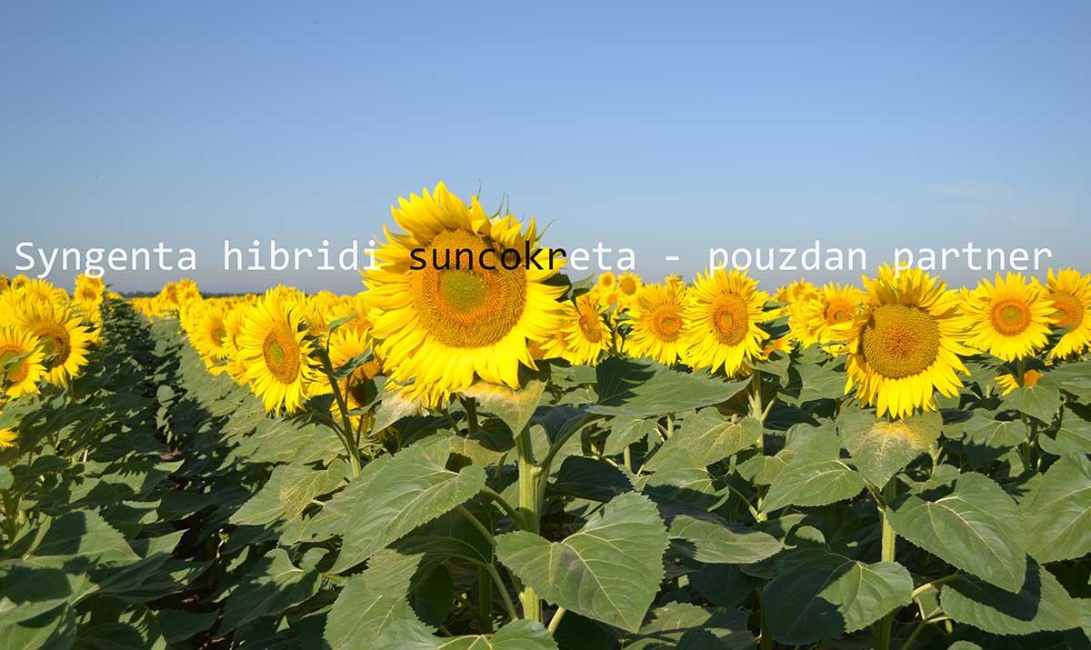Agrosaveti---Syngenta---Express-hibridi-suncokreta---01