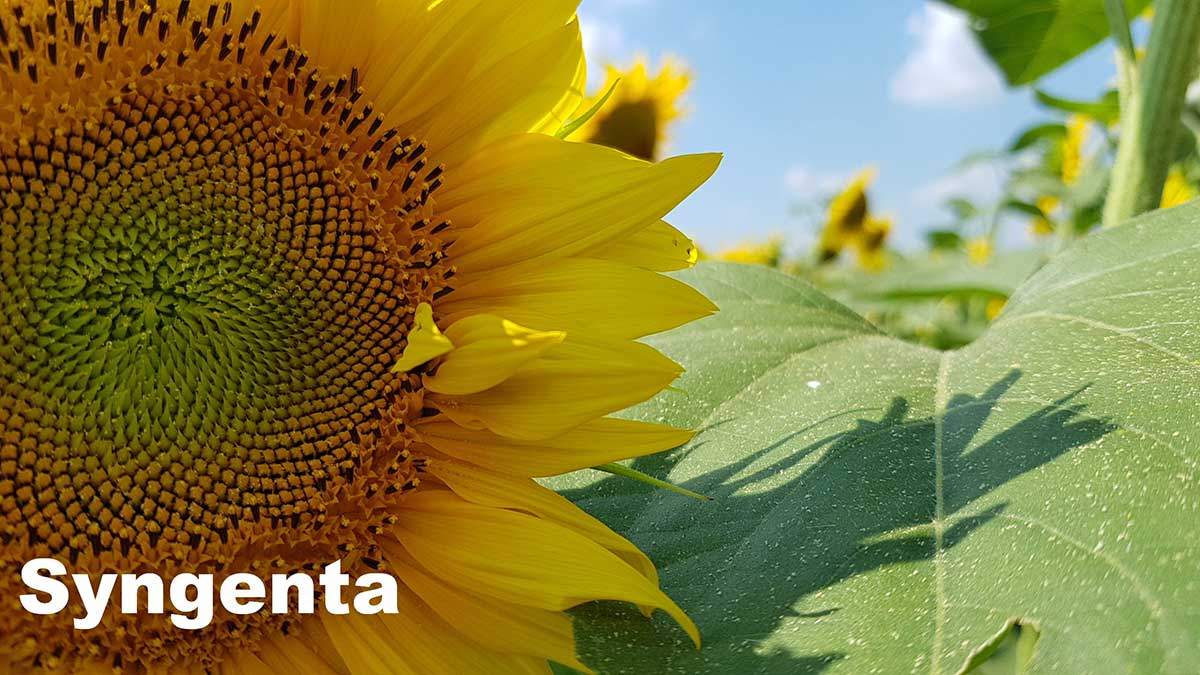 Agrosaveti---Syngenta---Express-hibridi-suncokreta---02