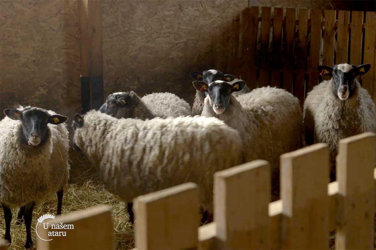Agrosaveti---farma-romanovskih-ovaca---Novi-Slankamen---01