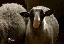 Agrosaveti---farma-romanovskih-ovaca---Novi-Slankamen---02