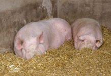 Agrosaveti---farma-svinja---Stapar---03