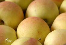 Agrosaveti---izvoz-jabuka---02