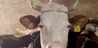 Agrosaveti---stocari - krave---Mosorin---02
