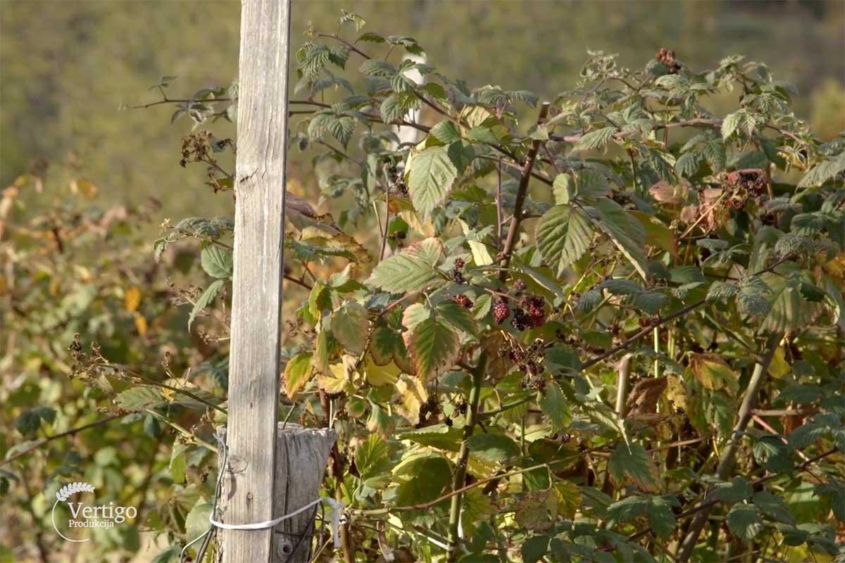 Agrosaveti---malina---Valjevo---02