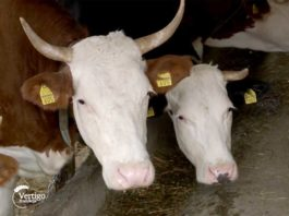 Agrosaveti---mlekarstvo---Drazimirovac---02
