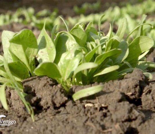 Agrosaveti---plastenicka-proizvodnja---paprika---01