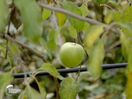 Agrosaveti---proizvodnja-jabuka---Novi-Slankamen---02