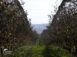 Agrosaveti---proizvodnja-jabuke---Nestin---01