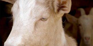 Agrosaveti---farma-koza---Susek---03