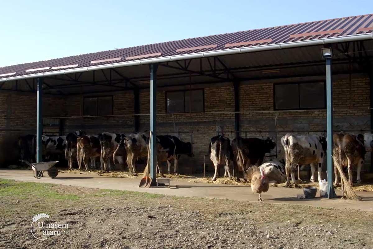 Agrosaveti---krave---mleko---Deronje---01