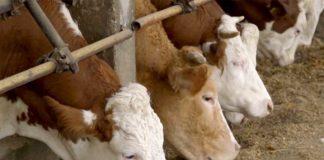 Agrosaveti---proizvodnja-kravljeg-mleka---Markovac---03