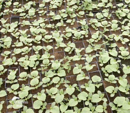 Agrosaveti---proizvodnja-rasad---02