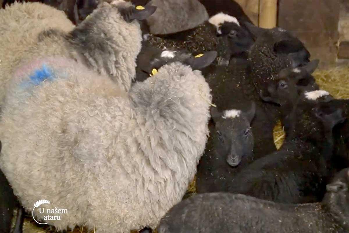 Agrosaveti---romanovska---ovca---Sid---01