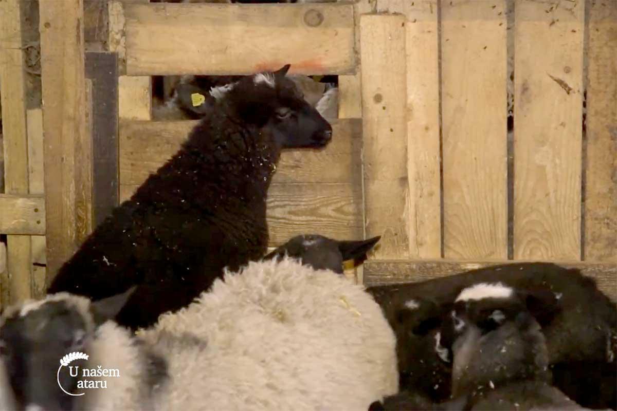 Agrosaveti---romanovska---ovca---Sid---02