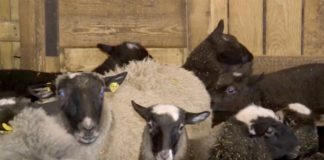 Agrosaveti---romanovska---ovca---Sid---03