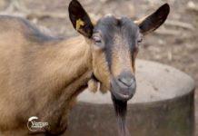 Agrosaveti---alpino-koza---Svilos---02