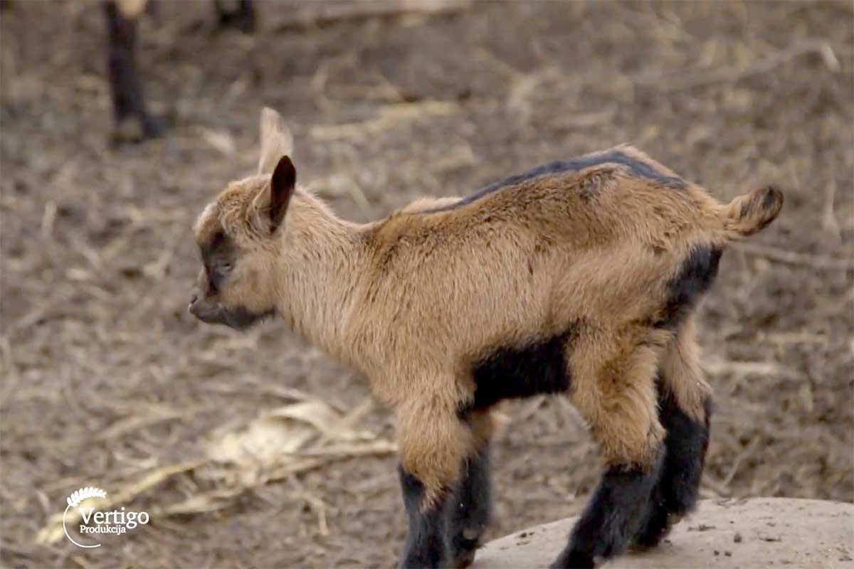 Agrosaveti---alpino-koza---Svilos---03