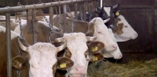 Agrosaveti---govedarstvo---Lozovik---03
