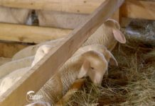 Agrosaveti---ovce---Guncat---Knic---01