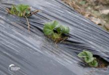 Agrosaveti---proizvodnja-jagoda---plastenik---03