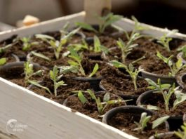 Agrosaveti---proizvodnja-rasada---Celarevo---02